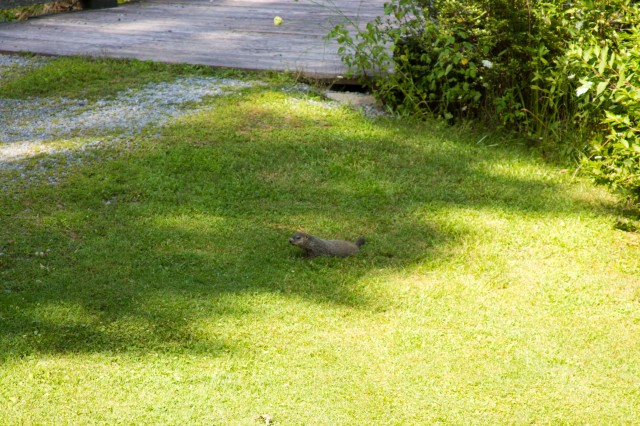 We have a groundhog/woodchuck/fat rodent family under the bridge in our driveway.  I think they're cute!