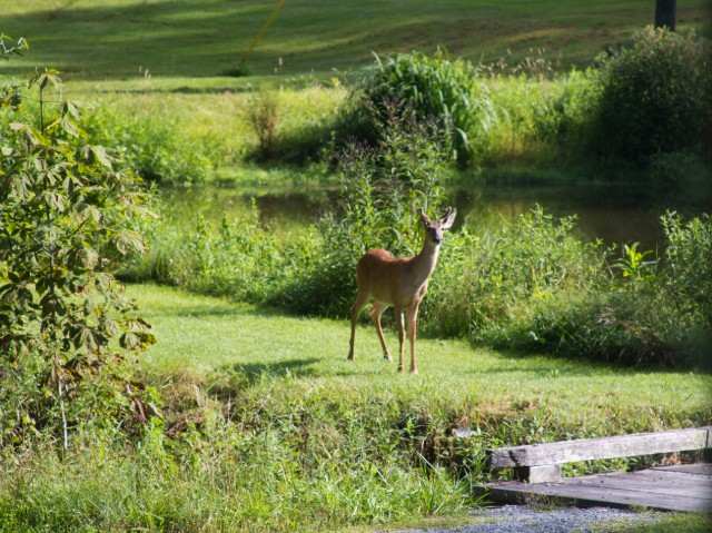 A young deer this summer, coming to get a drink in the pond.
